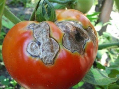 Именно сейчас нужно бороться с вершинной гнилью на томатах!