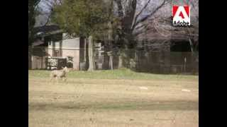 Lure Coursing-lansdale