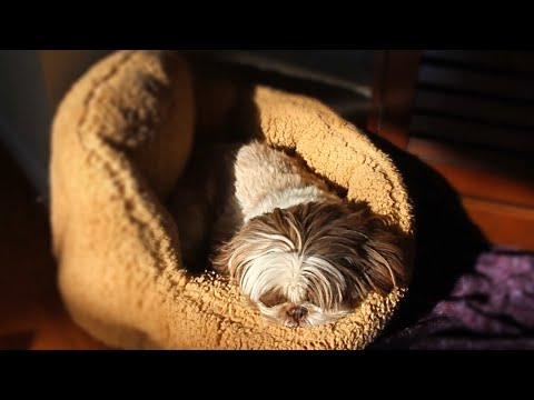 little-shih-tzu-dog-embraces-sun-in-oversized-bed