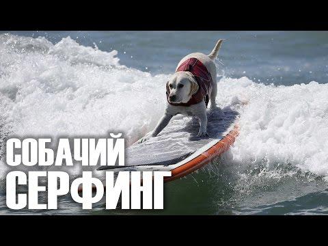 Собачий серфинг 'Surf