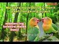 Pancingan Lovebird Ngetik Ngekek Ampuh Gacor Cara Merawat Suara Lovebird Dengan Cepat Juara  Mp3 - Mp4 Download