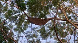 tìm đuợc tổ ong mật khủng giữa rừng#198