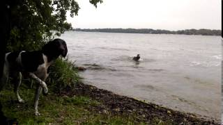 Kiji, German Shorthaired Pointer, blowing bubbles and pulling up weeds! | Fergie's Mess