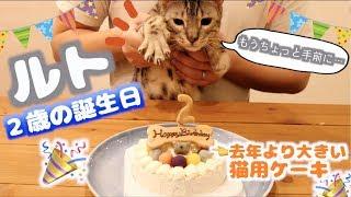 ルトの2歳の誕生日に大きい猫用ケーキ用意したら欲張りなロゼが意外な行動を。。。
