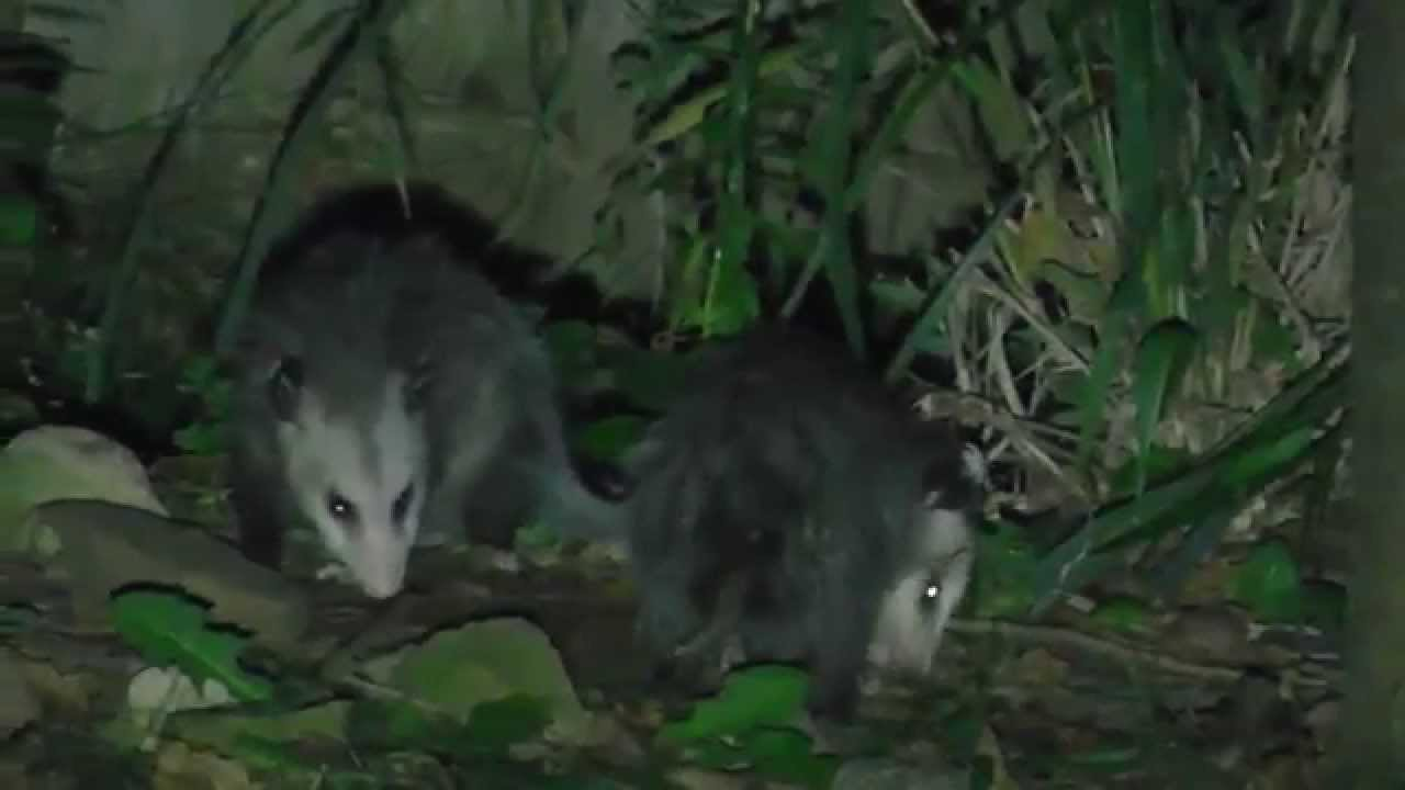 possums in the back yard youtube