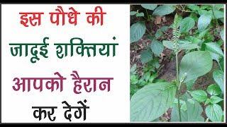 देखिये इस चमत्कारिक पौधे की जादुई शक्तियाँ