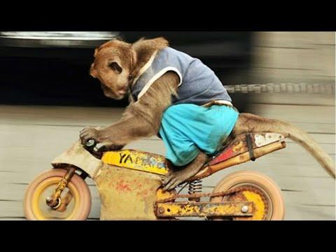 Обезьяна на мотоцикле украла ребенка