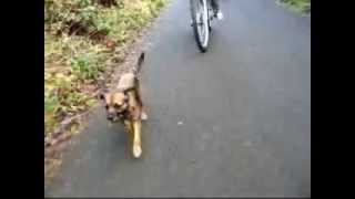 Border Terrier Goes Mountain Biking.