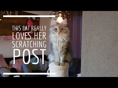 Maine coon cat really loves her new scratching post