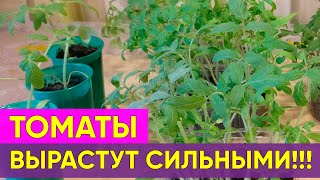 🌱Крепкая рассада томатов до пикировки. Как вырастить? Выращиваем томаты вместе🌱