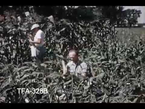 Growing Hybrid Corn (1950s)