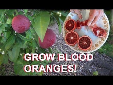 Growing Moro Blood ORANGE Tree & Citrus & Seeds Red Juice Fruit