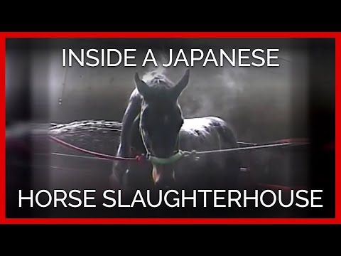 Raw Footage of a Thoroughbred Inside a Japanese Horse Slaughterhouse