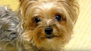 Lisa is a puppy of Yorkshire Terrier, Lisa walks in Nagasaki's Peac...