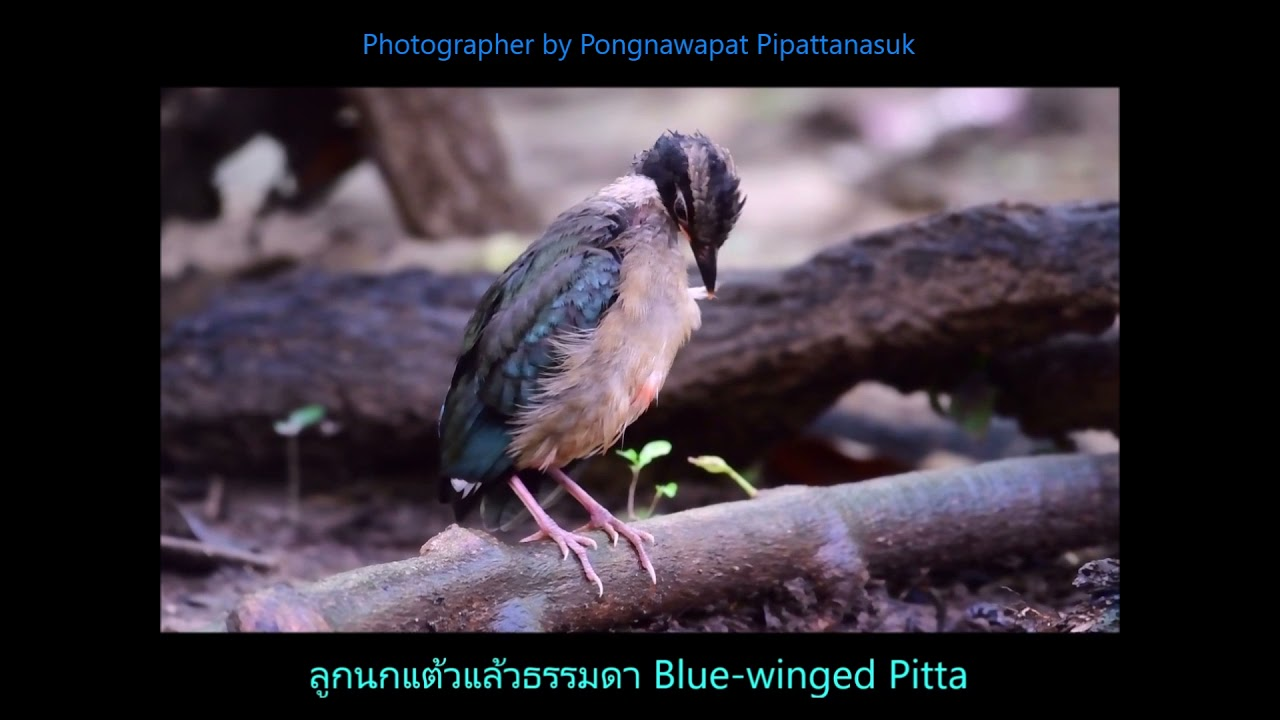 017  วัยอ่อน นกแต้วแล้วธรรมดา  Blue winged Pitta