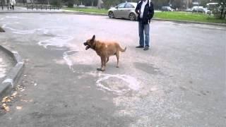 Рыжая собака!