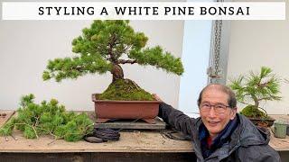 Shaping A White Pine Bonsai Youtube