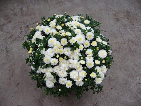 Черенкование хризантемы мультифлора