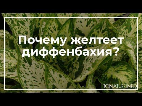 Почему желтеет диффенбахия? | toNature