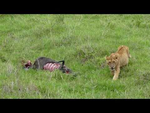 Lion Cub, Ngorongoro Conservation Area