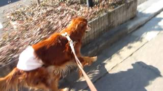 15才3ヶ月のシェリさん、散歩中も走るよ!