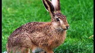 Заяц русак ручной