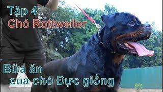 Episode 4: Understanding the meal of the breed Rottweiler / ROTTWEILER / NhamTuatTV-Dog in Vietnam