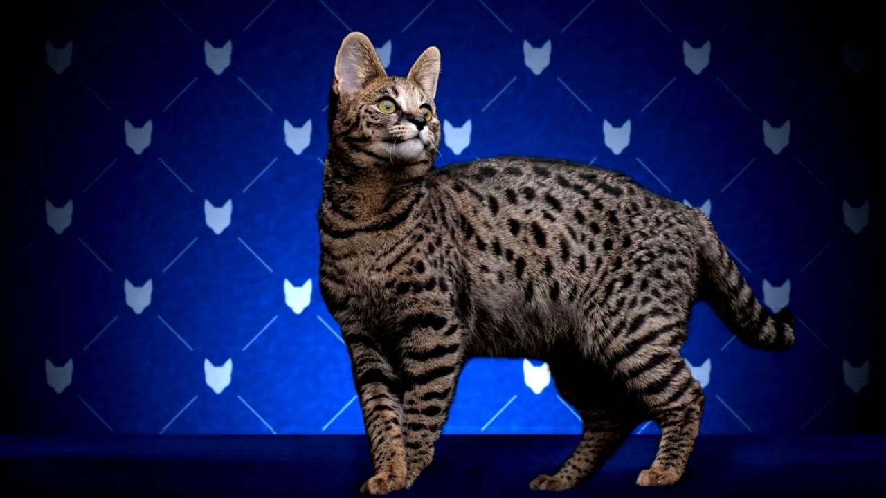 Порода кошек. Саванна.Самая необычная,крупная,редкая и очень дорогая кошка