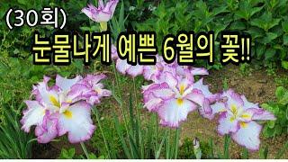 키우기 쉬운 노지월동 다년초  엔샤타아이리스#제팬아이리…