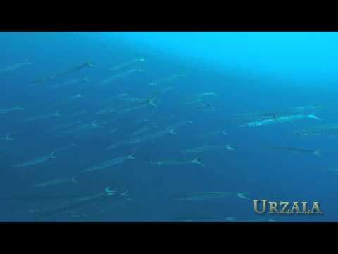 Big schools of Barracudas and Atlantic bonitos , Medes Islands, Spain