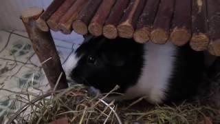Les premiers signes de maladie chez un cochon d'Inde