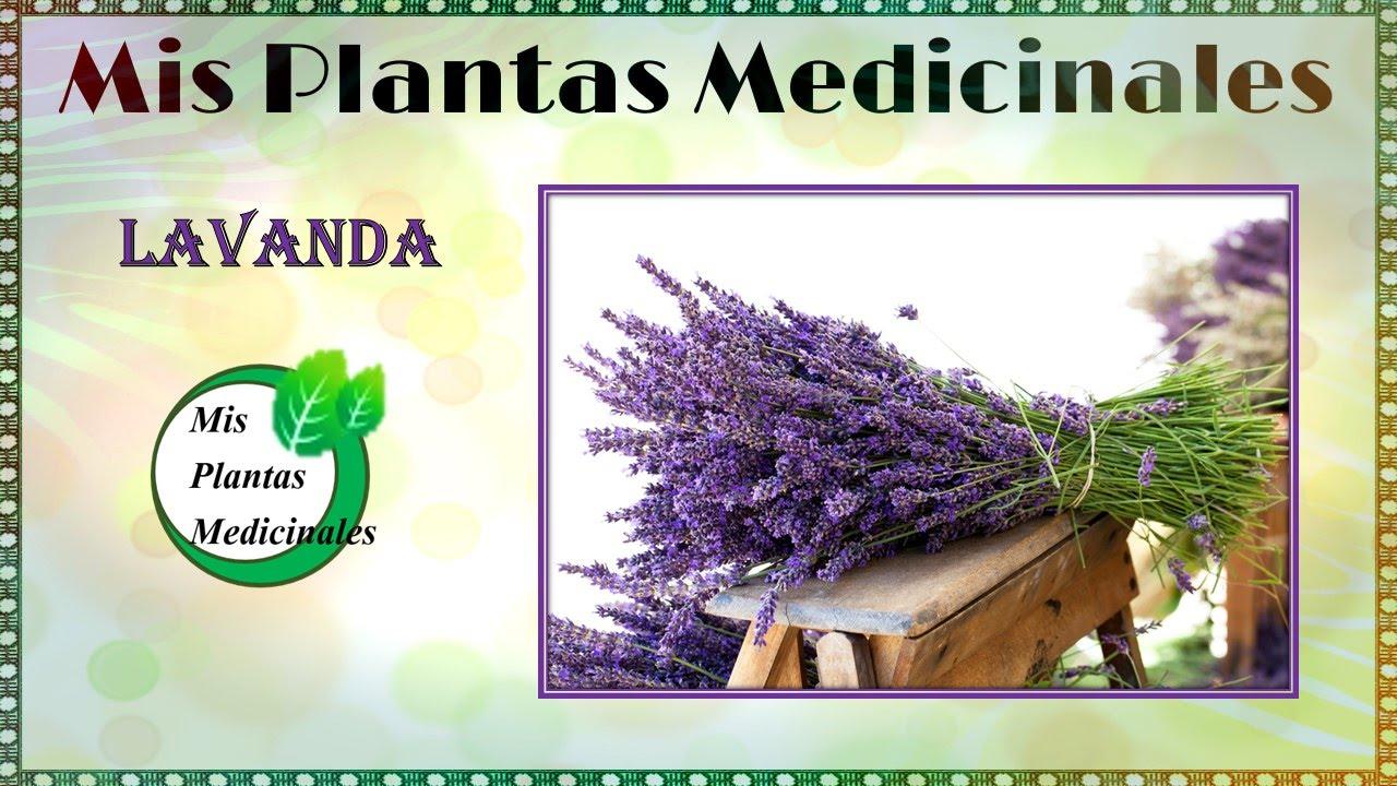 Lavanda planta medicinal para que sirve - Beneficios de lavanda