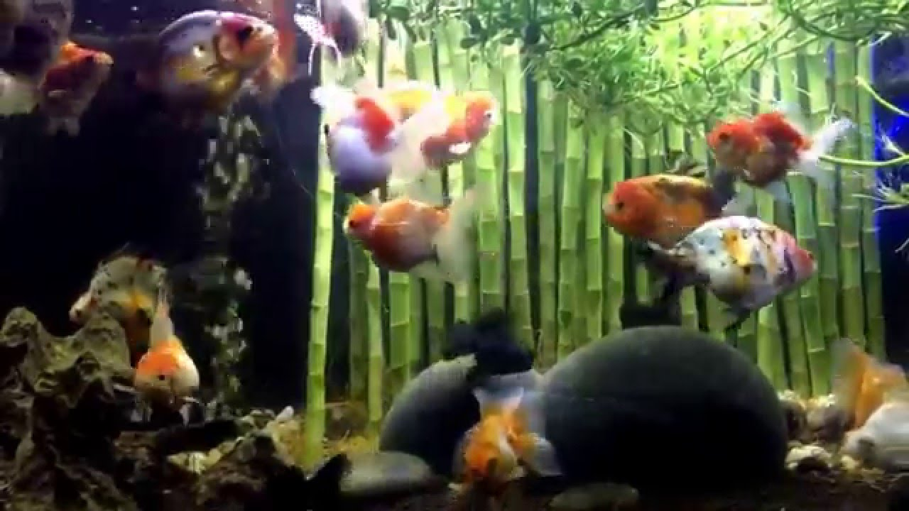 Wong Aquascapes: Goldfish Roaming In Lucky Bamboo Forrests: Aquaponics No  Water Change No Chemicals   YouTube
