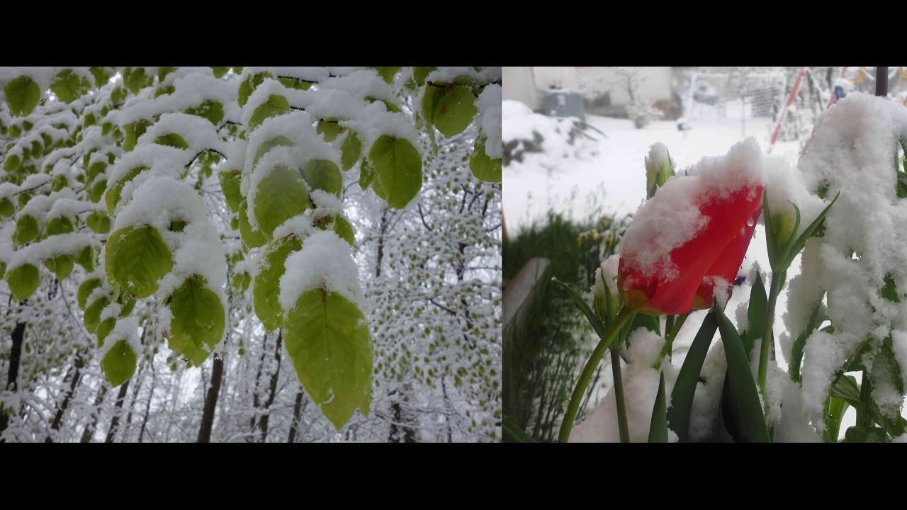 Larscarving Schnee An Ostern 17 April 2017 Fruhlingsblumen Und Das