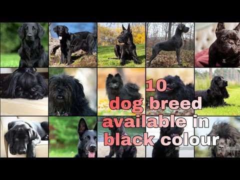 TOP 10 BLACK DOG BREED  EASY AVAILABLE IN INDIA    information    shanu pets and farm