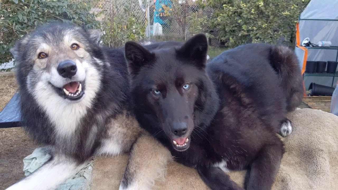 Two Very Happy Wolfdogs Youtube