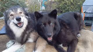 Two very happy wolfdogs