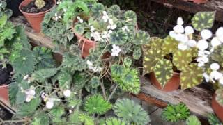 Разные виды Бегонии Ботанический сад