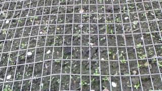 Черемуха и сад-огород