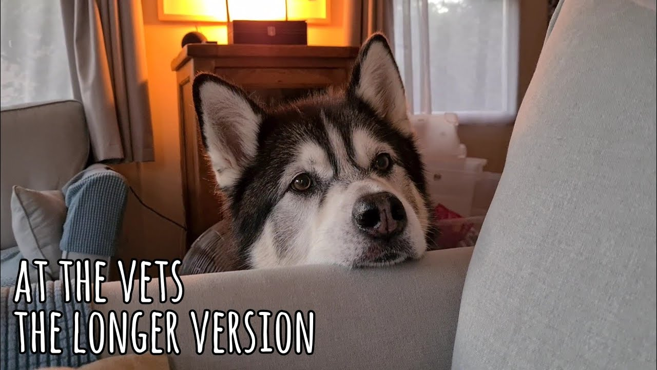 Taking my Husky to the vets | The worry, The relief and the Following Day