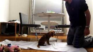 Latte The Cavalier King Charles Spaniel Training Tricks At 4 Months Old