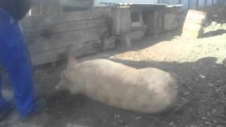 Забій свині