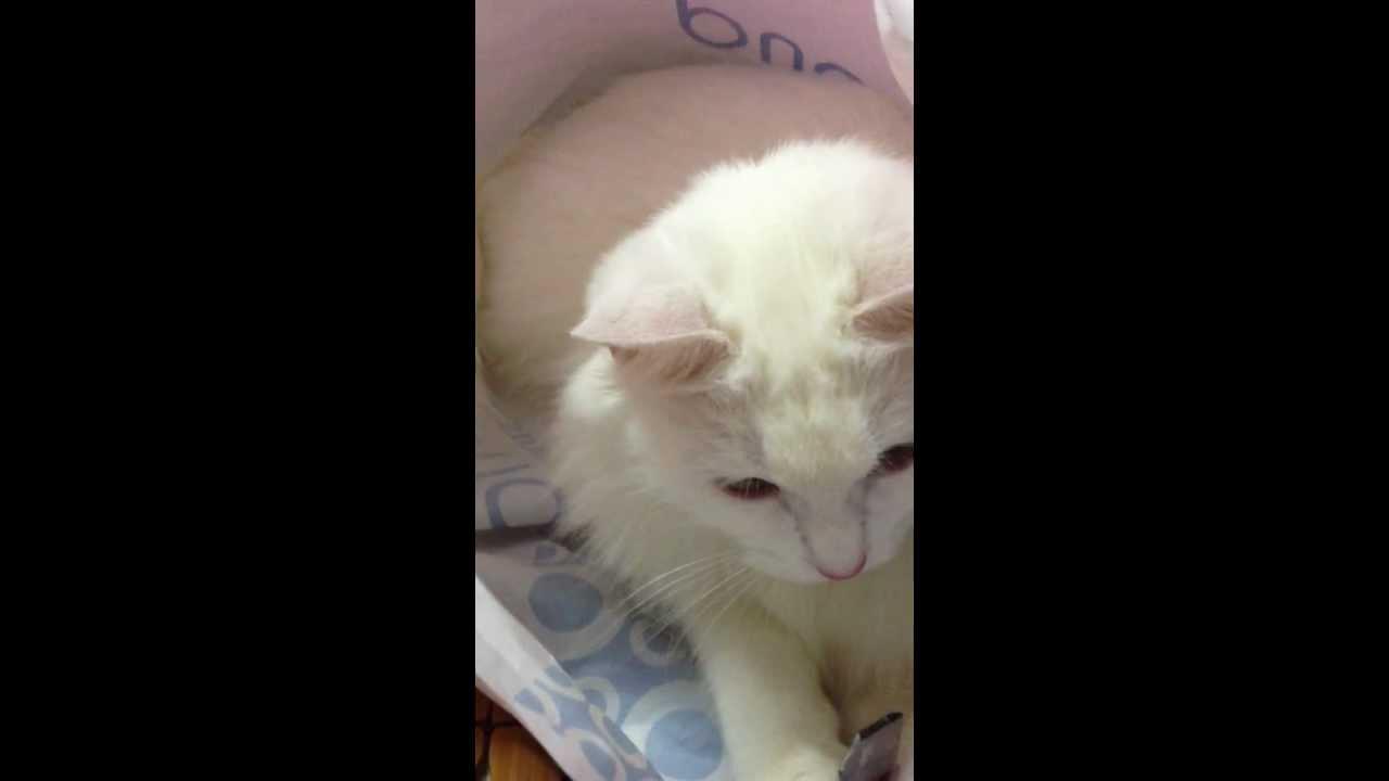Miss Bông - Cat kute