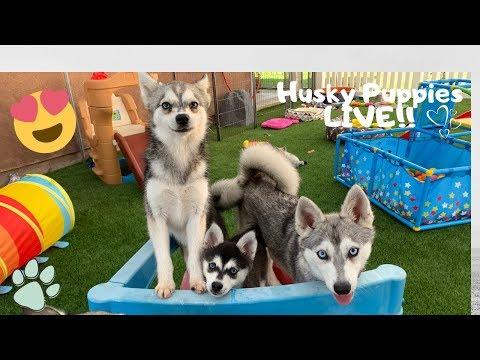 Live Puppy Stream- Adorable Alaskan Klee Kai-Miniature Husky Puppies