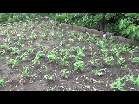Rotacion de cultivos maiz avena funnycat tv for Rotacion cultivos agricultura ecologica