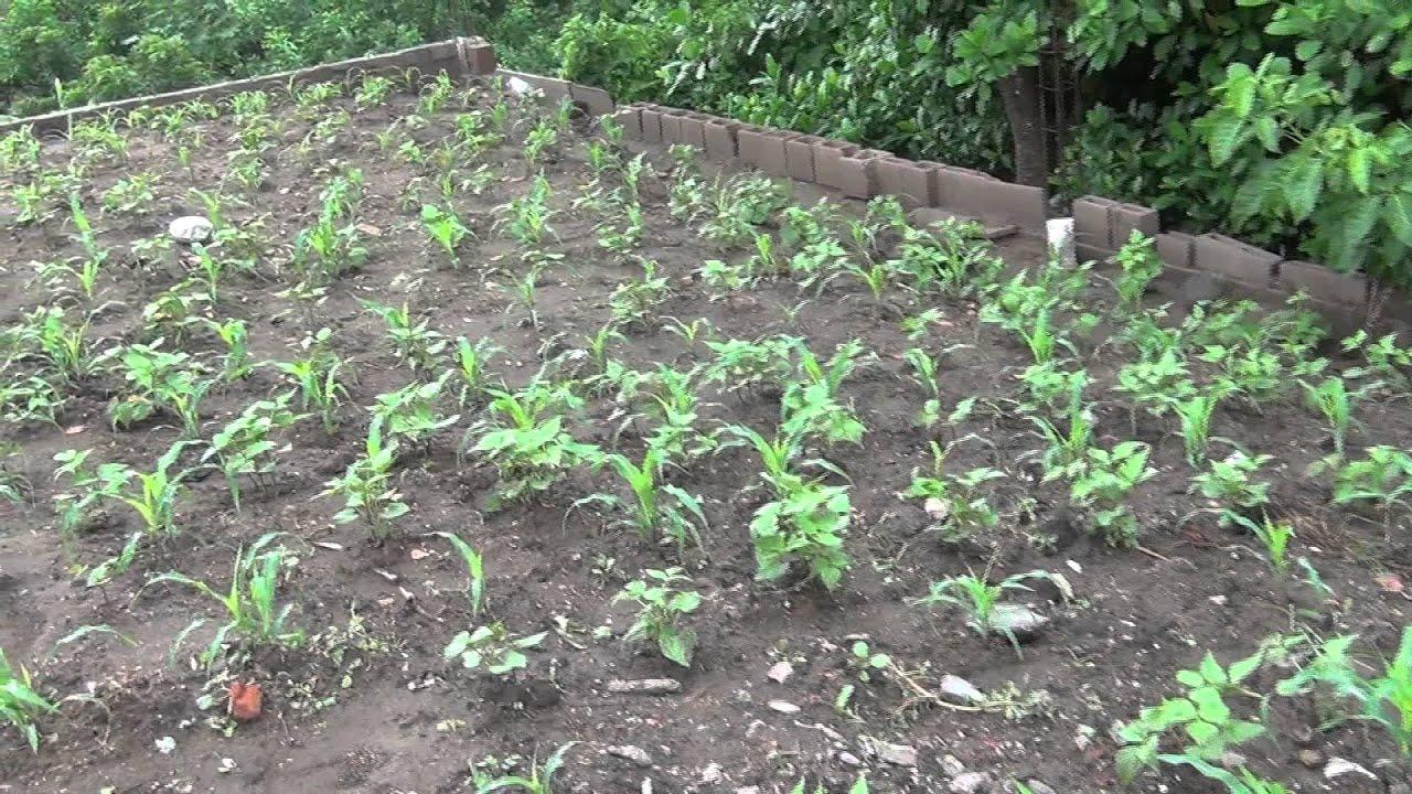 cultivo de maiz y frijol el salvador c a youtubero