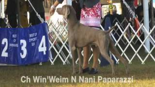 Part I Florida Gulf Coast Weimaraner Club Specialty 2009