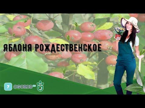 Яблоня Рождественское