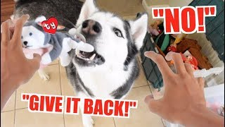 Guy CHASES SIBERIAN HUSKY When Dog Steals Beanie Babies!