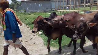 Big bulls | Deshal | Paragram Gorur Haat 2017 | Laugh controller